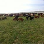 Курдючные овцы! В Москве