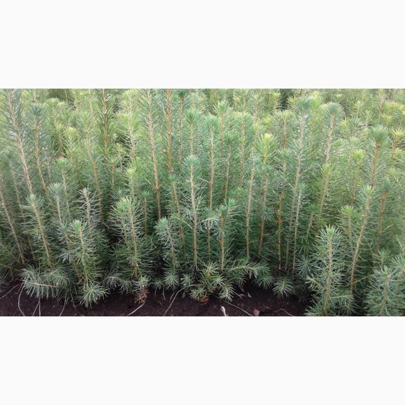 семена сосны обыкновенной купить 1 кг