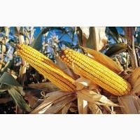 Семена французской кукурузы КСС 5290