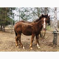 Продам лошадей чистокровной верховой породы