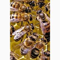 Продам пчелосемьи. Зимовалые. Среднерусская, карника