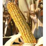 Семена кукурузы Краснодарский 377 АМВ