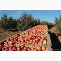 Сад реализует яблоко оптом собственного производства, большой выбор сортов