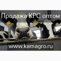 Продажа Крупно рогатого скота оптом в живом весе