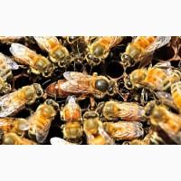 Продам Пчелопакеты Бакфаст, Карника, Карпатка. Весна 2019 года