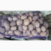 Картофель оптом с доставкой в СпБ