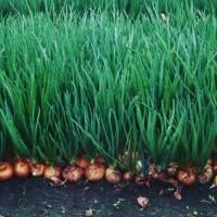 Продам лук зелёный (перо)