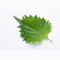 Шисо листья