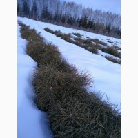 Сеянцы сосны обыкновенной двухлетние.Лесосеменной район 11, 12
