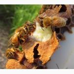 Маточное молочко пчелиное