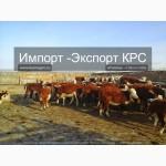 Продажа коров, телят, бычков, нетелей и телок породы герефод