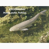 Скупка речной рыбы. Куплю рыбу оптом