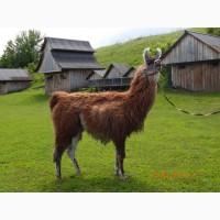 Продаётся лама гуанако