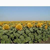 Семена подсолнечника Дон РА (гибрид среднеспелый)