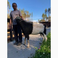 Племенной козел ламанчи