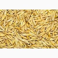ООО НПП «Зарайские семена» закупает фуражное зерно: овес от 60 тонн
