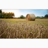 Продаем семена озимой пшеницы высокоурожайные