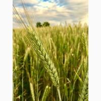 Закупаем зерно (ячмень, овёс)