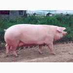 Племенные свиноматки