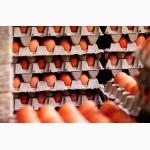 Инкубационное яйцо бройлера, несушки, индюков
