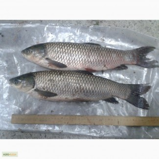 Рыба карп, амур, толстолобик (ооо брк)