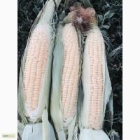 Продаю кукурузу сахарную