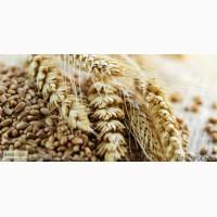 Семена тритикале озимой