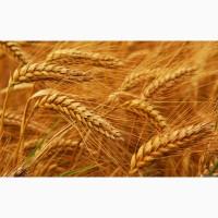 Купим зерновые (ячмень, пшеница, кукуруза, семечка)