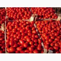 Продаем помидор Новичок в любых объёмах