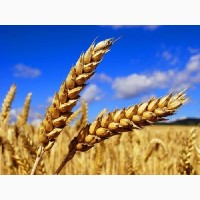Семена пшеницы Канадский ярый трансгенный сорт твердой пшеницы DENTON