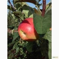 Предлагаем к продаже яблоки Оптом и в Розницу