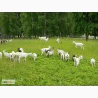 СРОЧНО продам коз