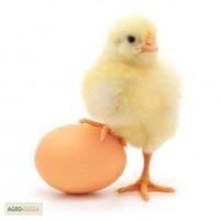 Яйцо инкубационное из Европы