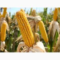 Семена кукурузы Канадский трансгенный гибрид SKEENA FF 199 ФАО 250
