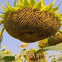 Канадский трансгенный гибрид масличный подсолнечник JAEGER F 369 Подсолнух Семена