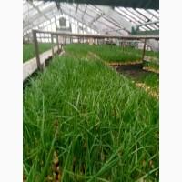 Продам лук на зелень без химии с огорода