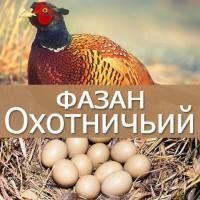Яйцо инкубационное фазана охотничьего и кавказского