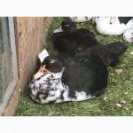 Селезни индоутки (мускусной утки) возраст 6 и 4 месяцев