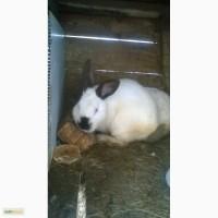 Продам кроликов молодняк, самцов производителей