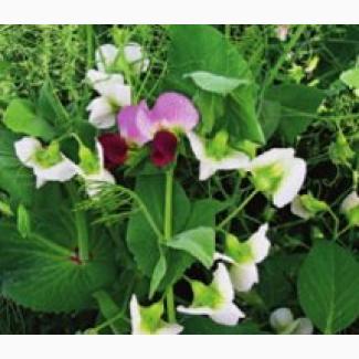 ООО НПП «Зарайские семена» закупает семена - горох полевой пелюшка от 20 тонн