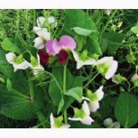 ООО НПП «Зарайские семена» закупает семена гороха полевого пелюшка