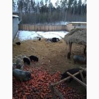 Поросята Венгерская пуховая Мангалица