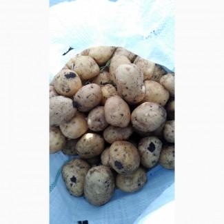 Картофель оптом, сорт Ривьера