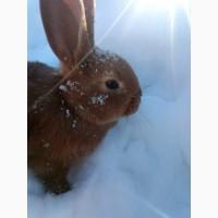 Продам крольчат нзк Новозеландский красный