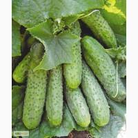 Семена огурца Мария (Саката)