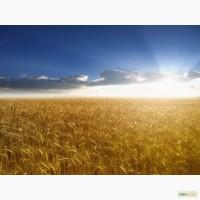 Пшеница 4 класс на Афганистан