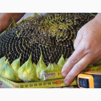 Семена масличного подсолнечник Канадский трансгенный гибрид COWER FT 399