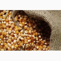Кукуруза продовольственная (ГОСт)