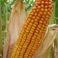 Семена кукурузы канадский трансгенный гибрид кукурузы hydra ff - 369