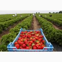 Продажа свежей клубники оптом в Брянске
